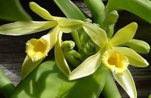 Floare de vanilie