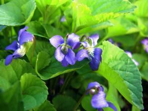Violeta salbatica