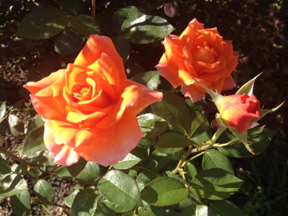 portocaliu spre galben